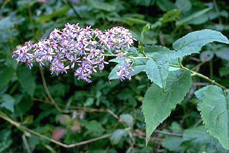 Arrow-leaved Aster Flower