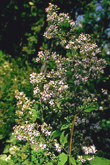Arrow-leaved Aster Plant