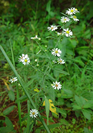 Frost Aster Plant