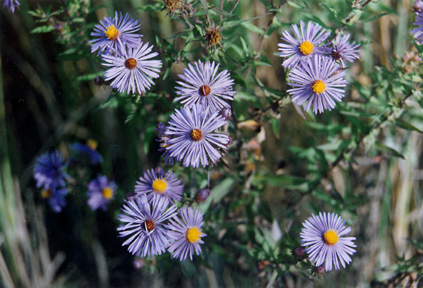 Smooth Aster Flower