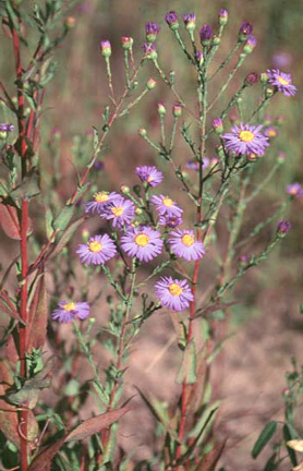 Smooth Aster Plant