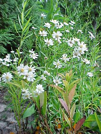 Upland-White Aster