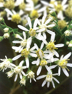 Flat-Topped-White Aster Flowers