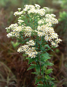 Flat-Topped-White Aster Plant