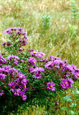 New-England Aster Plant