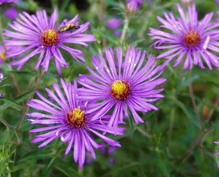 New-England Aster Flower