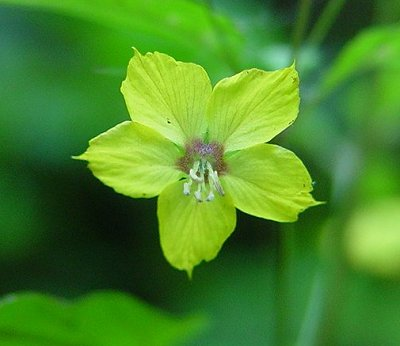 Fringed Loosestrife Flower