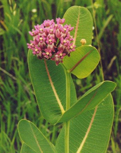 Sullivant's Milkweed