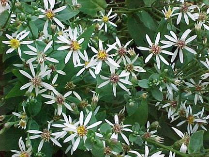 White Wood Aster Flower