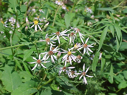 White Wood Aster Flower