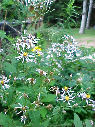 White Wood Aster Plant