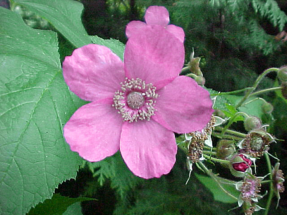 Flowering Raspberry Flower