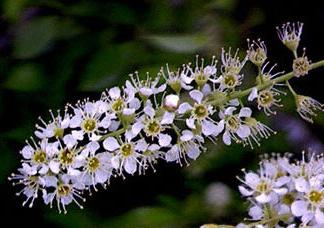 Black Cherry Flowers