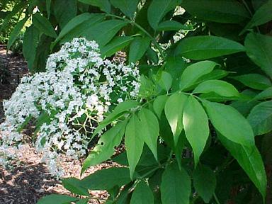 Elderberry Common Flower