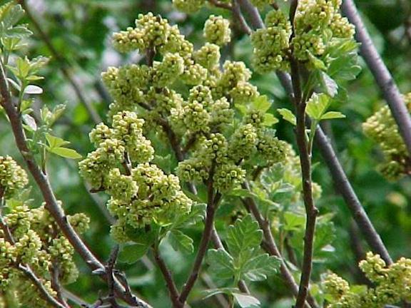 Fragrant Sumac Flower