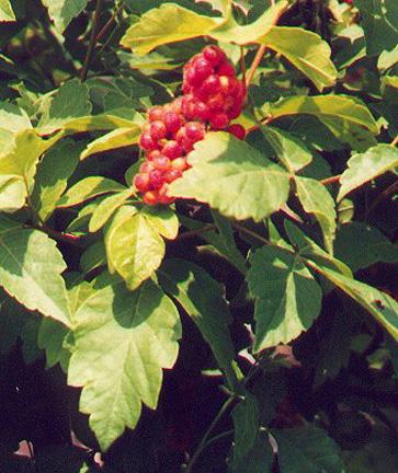 Fragrant Sumac Berries