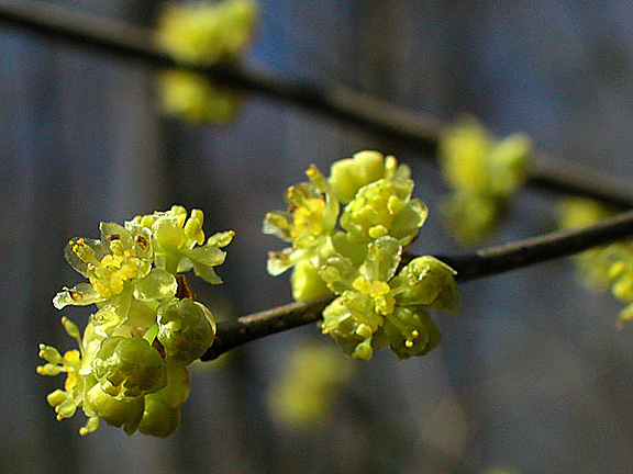 Spicebush Flower