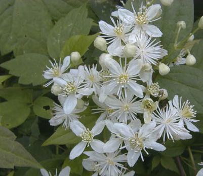 Virgin's Bower Flower
